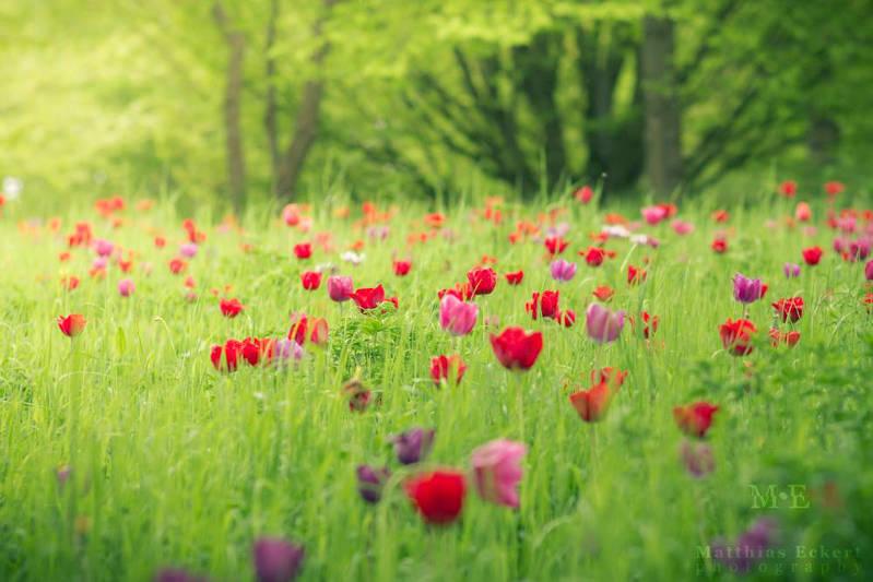 Matthias Eckert Photographie - Tulipes