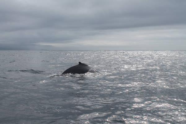 Sao Miguel - Baleine à bosse