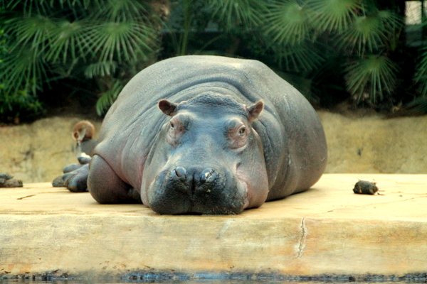 hippopotame zoo Berlin